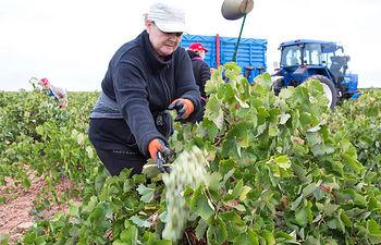 Vendimia. Foto: Cooperativas Agro-alimentarias.