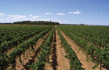 Viñedo en la Dehesa de Los Llanos, en Albacete.