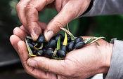 Aceitunas.. Foto: Cooperativas Agro-alimentarias.
