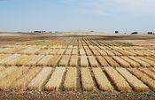 Campo de cereal. Foto: JCCM.
