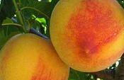 melocotones. Foto: Ministerio de Agricultura, Alimentación y Medio Ambiente