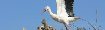 Fotografiar aves en sus hábitat urbanos históricos, objetivo del I Concurso 'Ciudades Patrimonio y Naturaleza'. Imagen de archivo de una Cigüeña.