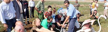 El director general de Áreas Protegidas y Biodiversidad, Alberto López Bravo (de pie, 2º i); y el delegado de la Junta de Comunidades en Albacete, Modesto Belinchón (1º i), asistieron esta tarde, en la Laguna de Hoya Usilla, que forma parte del complejo lagunar de Pétrola, en Albacete, a la suelta de seis flamencos que se han recuperado en el Centro de Recuperación de Fauna Salvaje de Albacete de las heridas que sufrieron a consecuencia de la tormenta que se registró el pasado 13 de agosto.