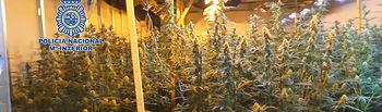 Doce detenidos en Albacete y Murcia por pertenecer a una organización dedicada al cultivo de marihuana