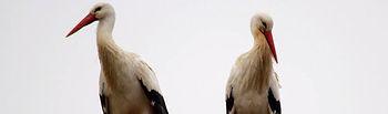 Pareja de cigüeñas que ha comenzado a anidar en la torre de la Reserva Ornitológica Municipal de Azuqueca. Fotografía: Daniel Sánchez.