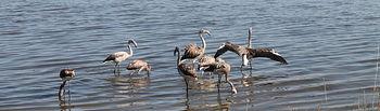 La Junta reincorpora diez ejemplares de flamencos en la Reserva Natural de la Laguna de Pétrola