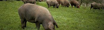 Cerdos Ibéricos - Jamones. Imagen de archivo.