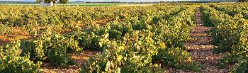 La Consejería de Agricultura abona 8,1 millones para reestructuración de viñedo a 442 agricultores de la región. Foto: JCCM.