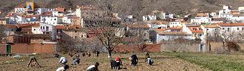 El ajo morado comienza a sembrarse a finales de diciembre y en los primeros días de enero.