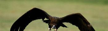 El CERI de Sevilleja de la Jara devuelve a sus hábitats a un buitre negro y a un águila real recogidos en 2013.. Foto: JCCM.