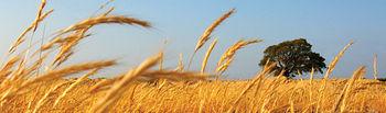 Se ha divulgado la idea de que el destino de los cereales para la producción de biocombustibles es una de las causas de la subida de los precios.