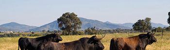 """Estos magníficos """"Samueles"""" forman parte de la camada que este año tiene previsto lidiar el ganadero albaceteño."""