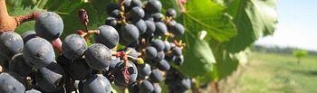 Reestructuración de viñedo sin dimes y diretes. Foto: ASAJA CLM.
