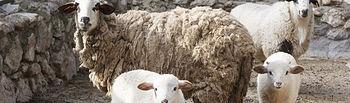 Nacimiento de corderos en el zoo