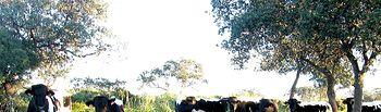 El Consejo de Ministros aprueba un ajuste técnico en las líneas de ayudas asociadas al sector vacuno de leche. Foto: Ministerio de Agricultura, Alimentación y Medio Ambiente