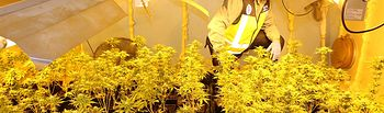Intervenidas 6.000 plantas de marihuana en diversas viviendas de Madrid y Toledo con un total de 10 detenidos. Foto: Europa Press 2020