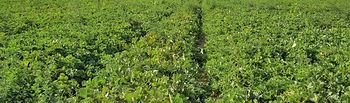 Campo de plantación de melones.