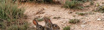 La caza y la agricultura son complementarias. En la foto, unos conejos en su madriguera.