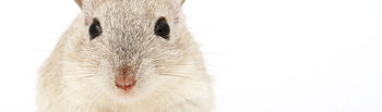 La mayoría de los animales que se utilizan en los laboratorios de la UCLM son pequeños roedores