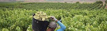 GRA134 ALDEANUEVA DE EBRO (La Rioja) 31-08-2015.- La vendimia se ha iniciado en los últimos días en Rioja con la recogida de la uva blanca en las parcelas más tempranas de la subzona Rioja Baja y con expectativas de conseguir una buena añada en cantidad y calidad debido al buen estado sanitario que presenta el viñedo en toda la Denominación.-EFE/Raquel Manzanares