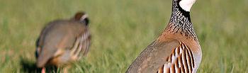 Aunque esta temporada la situación de la perdiz roja es algo preocupante, sigue siendo la reina de la caza menor.