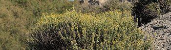 Población de pítano (Vella pseudocytisus) ubicada en la toledana localidad de Yeles. Foto: unknown