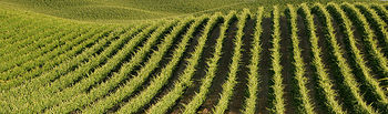 El viñedo de Castilla-La Mancha cuenta con 40 tipos de uva diferentes entre variedades autorizadas y recomendadas
