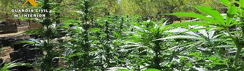 Marihuana desmantelada-1 - Guardia Civil - 07-10