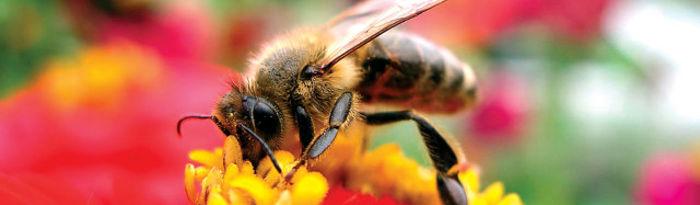 La privilegiada situación de La Alcarria, hace que proliferen en la zona las plantas aromáticas, de las que las abejas extraen una miel reconocida por sus excelentes propiedades.