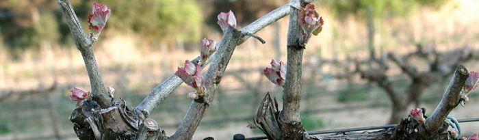 Las investigaciones llevadas a cabo por la Universidad de Castilla-La Mancha en la vid persiguen la mejora, mediante la selección de cepas y tierras, de la uva y por consiguiente del vino.