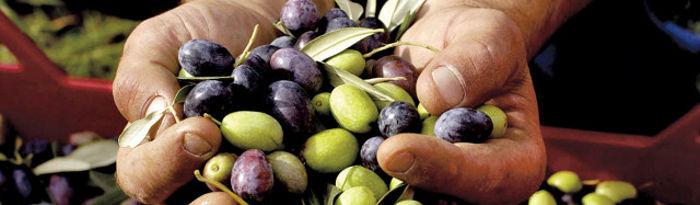 Castilla-La Mancha cuenta con una superficie aproximada de unas 357.000 hectáreas de olivar. Foto: Olivas.