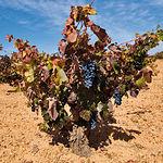 Entre las medidas en ayuda del sector vinícola de CLM, el PP solicita aprobar una destilación urgente de crisis de dos millones de hectolitros a un precio mínimo de 1,90 euros/hectogrado.