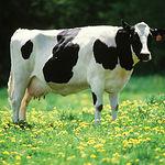 La normativa comunitaria europea tiene prohibidos cuatro antibióticos que durante años fueron usados en la alimentación animal para acelerar el crecimiento y el engorde de las reses.