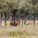 Ciervo en Dehesa de los Llanos