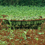 En 2003 había casi 68 millones de hectáreas dedicadas a cultivos transgénicos (ahora serán muchas más), sin que se conozcan todavía sus posibles efectos sobre la salud humana y el medio ambiente. Foto: Plantación de tabaco y secadero.