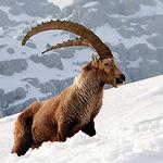 Dentro de la caza mayor, la cabra montés es una de las piezas más apreciadas.
