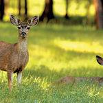 El desarrollo de un programa de inseminación artificial en condiciones óptimas para el ciervo ibérico, igual que para cualquier otra especie, necesitó del abordaje de varios estudios. Foto: Ejemplares jóvenes de ciervo ibérico.