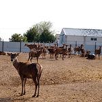 Manada de ciervos situada en la granja de experimentación que mantiene el IREC en la ciudad de Albacete.