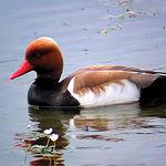 El pato colorado, símbolo del Parque de las Tablas de Daimiel, se encuentra en lagunas permanentes y profundas.