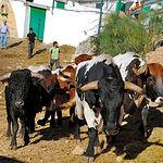 Los encierros de toros de Bogarra están muy arraigados en las tradiciones de toda la comarca.