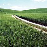 Esta comarca basa su agricultura en cultivos de cereal, vid, olivo y algodón. Foto: Campos de trigo en Almagro (C. Real).
