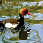 La invernada de aves acuáticas en estos humedales alcanza con frecuencia censos de hasta 40.000 anátidas.