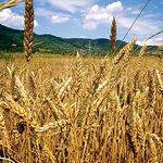 Los cereales constituyen uno de los productos agrícolas característicos de la zona. Foto: Campos de trigo.