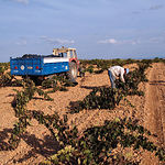 La nueva OCM del Vino plantea ayudas para la reestructuración y reconversión del viñedo.