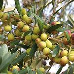 El sector del olivar castellano-manchego tiene una gran importancia económica y social en la Región.