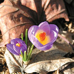 El azafrán de La Mancha es el más apreciado y de mayor calidad del mundo. Flor del azafrán.