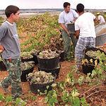 En la campaña de este año está previsto que entre el 20 y el 22% sea de calidad y el resto vaya para vino de mesa.