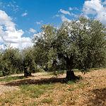 Tanto el olivo como la vid, constituyen unos de los productos agrícolas de la zona y forman parte muy importante de la economía de la comarca.