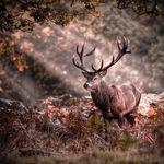 El ciervo es, por su valioso trofeo de la cuerna, el rey de la caza mayor en Castilla-La Mancha. Foto: Ciervo ibérico.