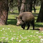 Entre la caza mayor de la zona de Letur, abunda el jabalí.